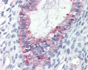Immunohistochemistry (Formalin/PFA-fixed paraffin-embedded sections) - Anti-GPCR GPR27 antibody (ab117106)