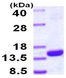 SDS-PAGE - PSMG4 protein (ab117216)