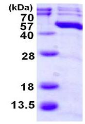 SDS-PAGE - MAPK11 protein (ab117219)