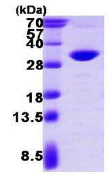 SDS-PAGE - PSME2 protein (ab117228)
