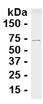 Western blot - Anti-XPNPEP1 antibody (ab117338)