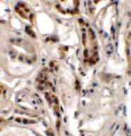Immunohistochemistry - Anti-DPAGT1 antibody (ab117459)