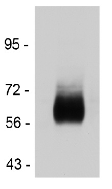 Western blot - Anti-Endothelin A Receptor antibody (ab117521)