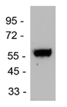 Western blot - Anti-Endothelin B Receptor antibody (ab117529)