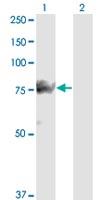Western blot - Anti-SMURF1  antibody [1D7] (ab117552)