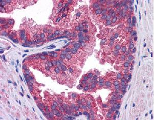 Immunohistochemistry (Formalin/PFA-fixed paraffin-embedded sections) - Anti-SLC39A10 antibody (ab117556)