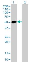 Western blot - Anti-NeuroD1 antibody [3H8] (ab117562)
