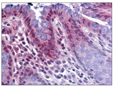 Immunohistochemistry (Formalin/PFA-fixed paraffin-embedded sections) - Anti-KPNA3 antibody (ab117578)