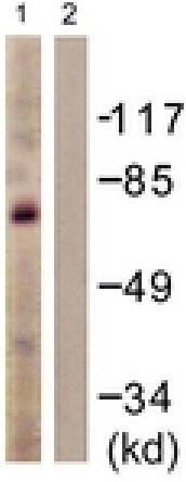 Western blot - Anti-c-Myb antibody (ab117635)