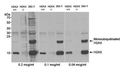 Western blot - Anti-Histone H2A.X antibody (ab117750)