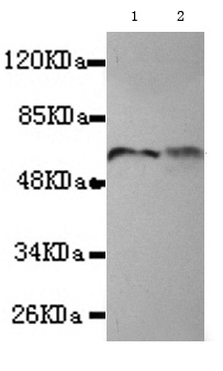 Western blot - Anti-TBLR1 antibody (ab117761)
