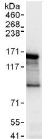 Immunoprecipitation - Anti-Angiomotin antibody (ab117776)