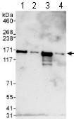 Western blot - Anti-Cingulin antibody (ab117778)