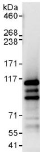 Immunoprecipitation - Anti-CWF19L2 antibody (ab117779)