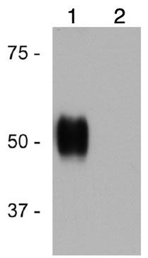 Western blot - Anti-GPCR RDC1 antibody (ab117836)