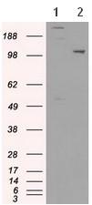 Western blot - Anti-USP38 antibody [1D11] (ab117845)