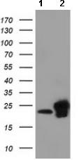 Western blot - Anti-SSSCA1 antibody [2F5] (ab117911)