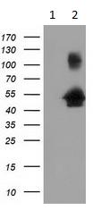 Western blot - Anti-GRASP65 antibody [4F8] (ab117932)