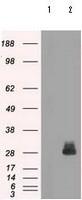 Western blot - Anti-FRA1 antibody [12F9] (ab117951)