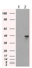 Western blot - Anti-hnRNP F antibody [5F5] (ab118028)
