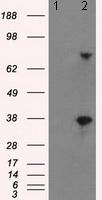 Western blot - Anti-BTN3A2 antibody [1A6] (ab118051)