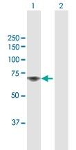 Western blot - Anti-TAF1B antibody (ab118067)