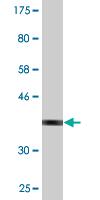 Western blot - Anti-SPAG4 antibody (ab118100)