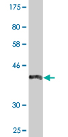 Western blot - Anti-ZAN antibody (ab118116)