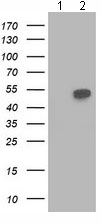 Western blot - Anti-Beclin 1 antibody [4A10] (ab118148)