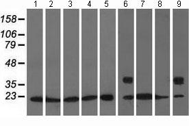 Western blot - Anti-RhoGDI antibody [1F2] (ab118159)