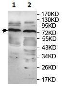 Western blot - Anti-katanin p80 antibody (ab118219)