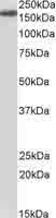 Western blot - Anti-Neurofascin antibody (ab118314)