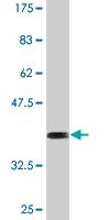 Western blot - Anti-TAZ antibody [1F1] (ab118373)