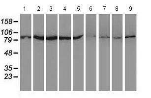 Western blot - Anti-SAE2 / UBA2 antibody [4A3] (ab118404)