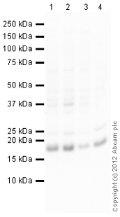 Western blot - Anti-p16 ARC antibody (ab118459)
