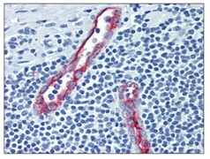 Immunohistochemistry (Formalin/PFA-fixed paraffin-embedded sections) - Anti-CD62P antibody [Psel.KO.2.5] (ab118522)