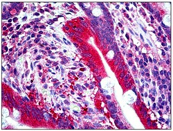 Immunohistochemistry (Formalin/PFA-fixed paraffin-embedded sections) - Anti-FISH antibody (ab118575)