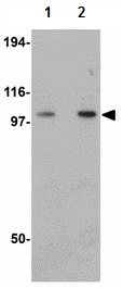 Western blot - Anti-FAM120B antibody (ab118589)