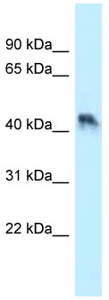 Western blot - Anti-ENTPD5 antibody (ab118660)