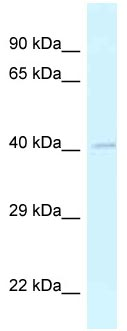 Western blot - Anti-General Receptor for phosphoinositides 1 antibody (ab118665)