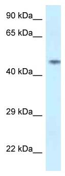 Western blot - Anti-SPOCK2 antibody (ab118680)