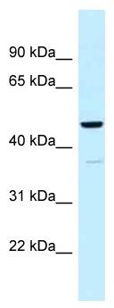 Western blot - Anti-UQCRC1 antibody (ab118687)