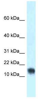 Western blot - Anti-LYNX1 antibody (ab118716)