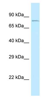 Western blot - Anti-CEP68 antibody (ab118783)