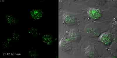 Immunocytochemistry/ Immunofluorescence - Anti-spindlin 1 antibody (ab118784)
