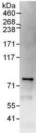 Immunoprecipitation - Anti-CENPI antibody (ab118796)