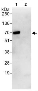 Immunoprecipitation - Anti-ARL6IP2 antibody (ab118807)