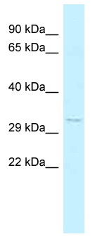 Western blot - Anti-ILF1 antibody (ab118922)
