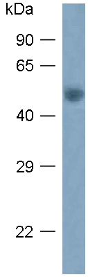 Western blot - Anti-Arc antibody (ab118929)