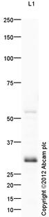 Western blot - Anti-GCLM antibody (ab118974)